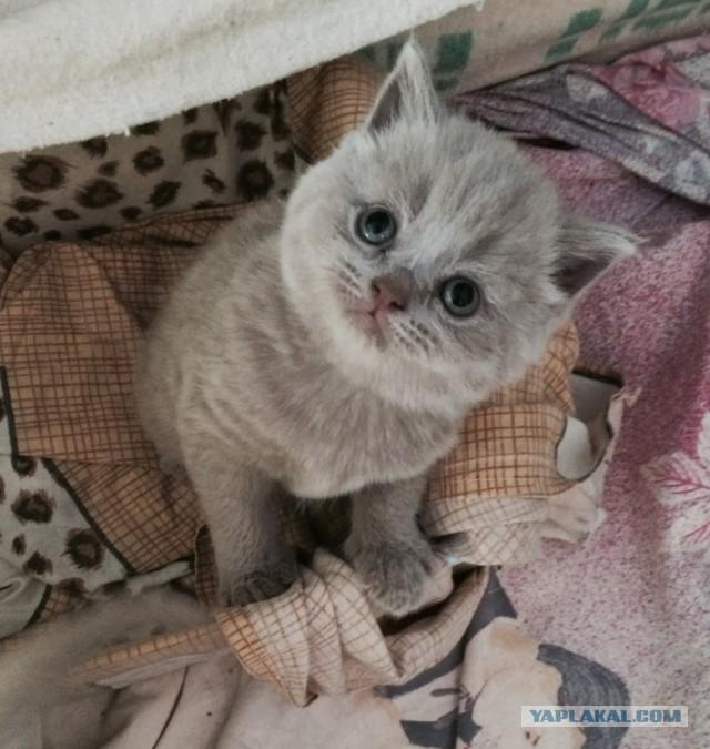 [СПБ] Продам котят шотландских