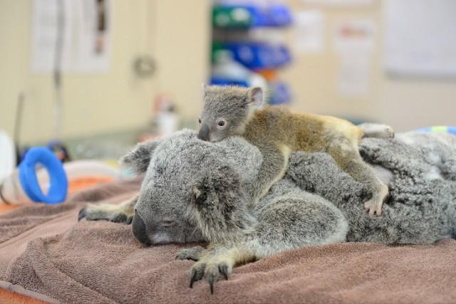Малыш-коала не отошел от матери во время операции
