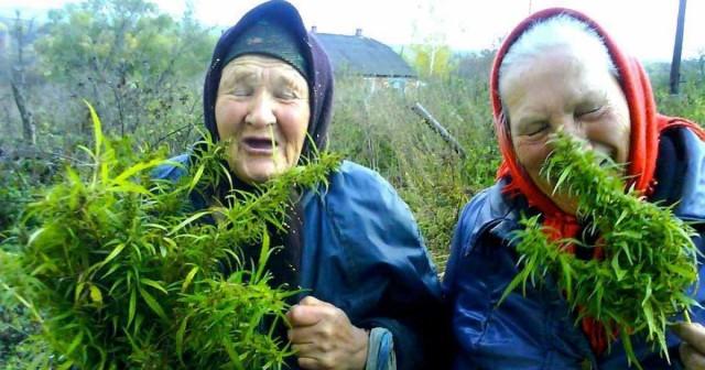 Экологи выступили за легальное использование марихуаны