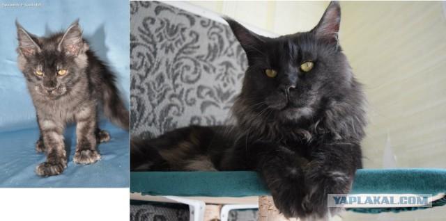 Котята породы мейн-кун ищут новый дом.