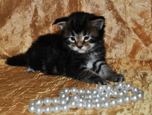 котята породы мейн кун