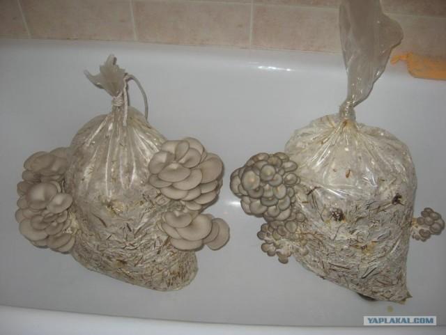 Как растить грибы в квартире