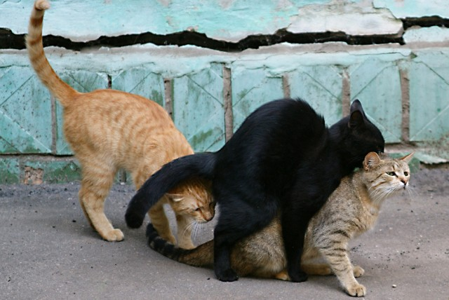 Фото коты ебутся 54454 фотография