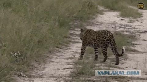 Мама леопард играет с малышами, делая вид, что не видит их