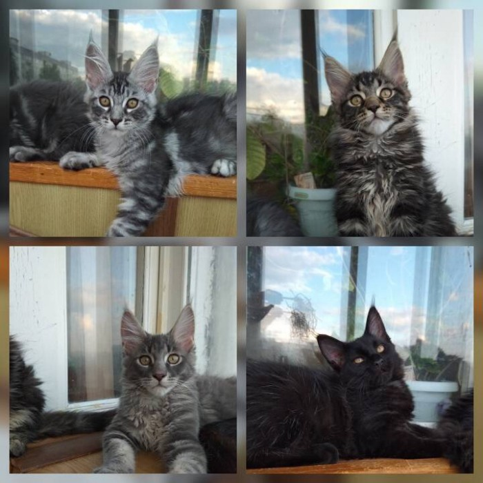 Продам котят мейкунов