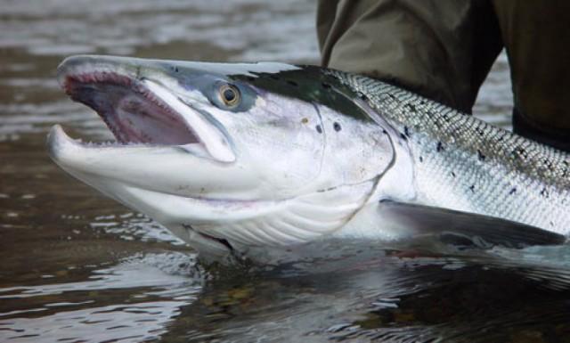 """На Сахалине """"рыбопромышленники"""" добивают последнюю рыбу"""