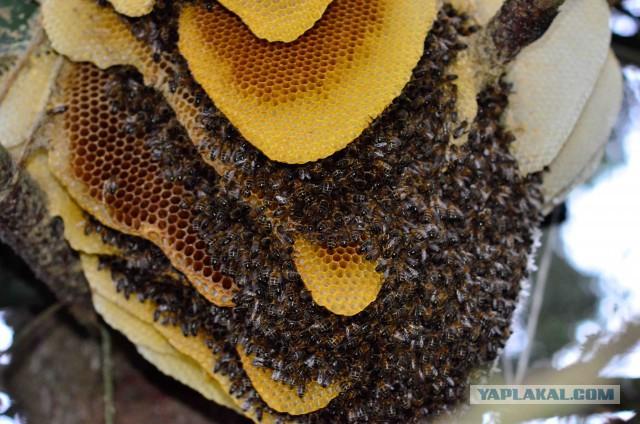 приманки для поимки пчелиных роев