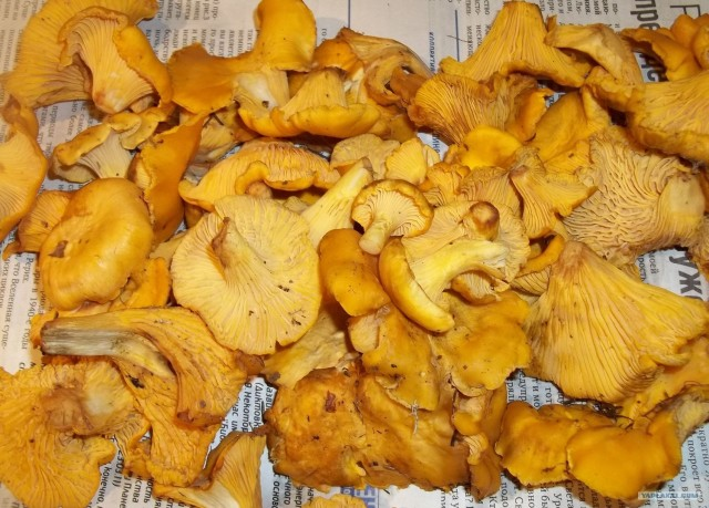 Как правильно приготовить лисички грибы