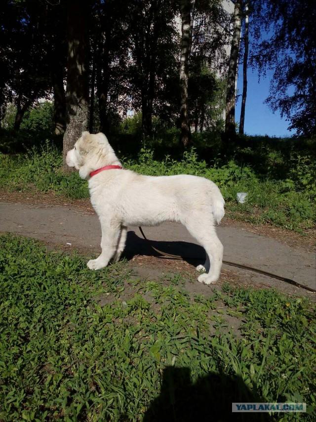 Продам щенка алабая (САО)