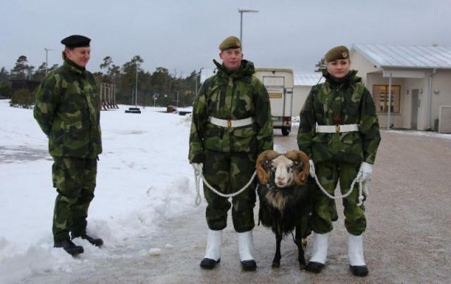 Шведская армия, усилившая свое присутствие на российском направлении, использует боевых баранов вместо собак