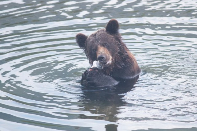 Июльские медведи и другие радости