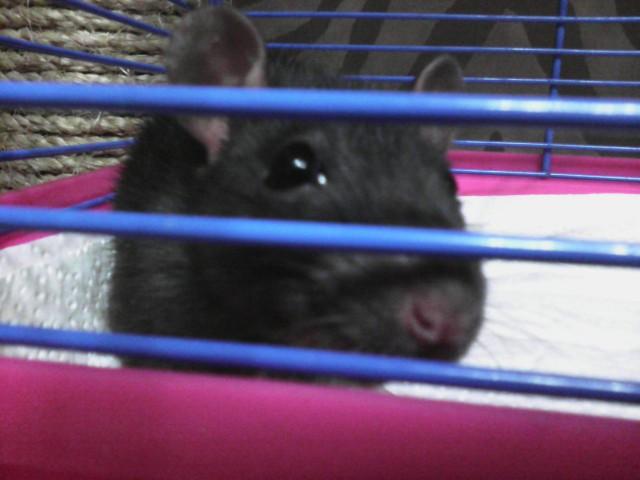 Отдам крысу, Спб