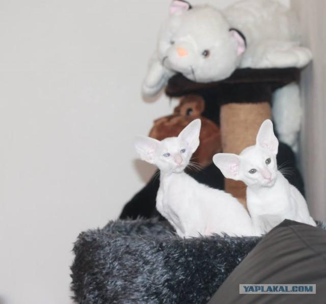 Восточно ориентальные котейки ищут дом!