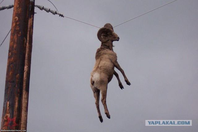 Серьезная операция по спасению козы, повисшей рогами на проводах - ЯПлакалъ