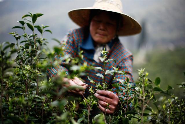 """""""Самые лучшие чайные листья мы тщательно и бережно отбираем для вас вручную"""""""