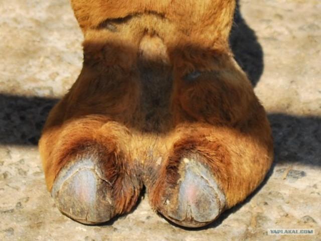 Верблюжья лапка (фото + видео)