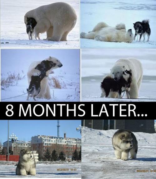 маламуты белый медведь видео