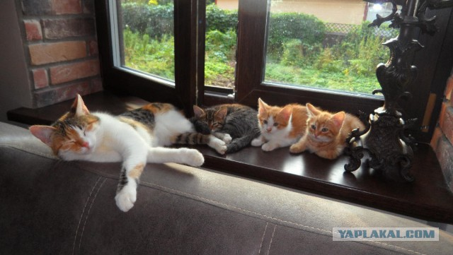 Пушистые сорванцы ищут дом (котята, Москва)