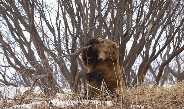 Камчатские медведи весной