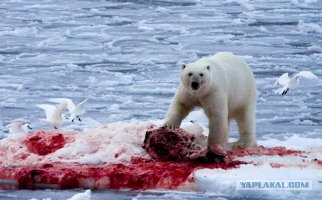 Видео нападение касаток на белого медведя
