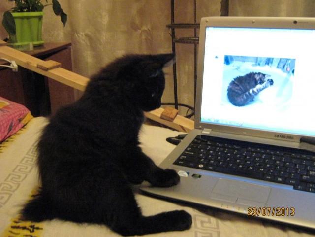 Продаются котята курилы