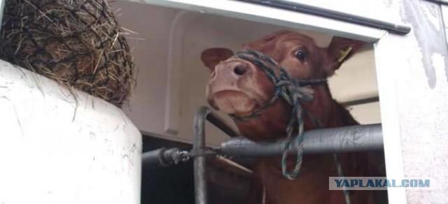 Когда люди набросили на нее веревку, корова заплакала от страха. Пока не увидела, куда ее привезли…