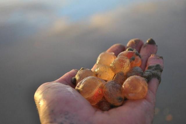 На калифорнийское побережье вылезли тысячи загадочных существ