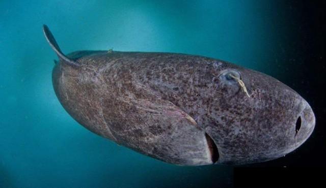 Поймана акула старше Ивана Грозного