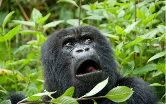 Google Photos перестали показывать фото горилл из-за обвинений в расизме