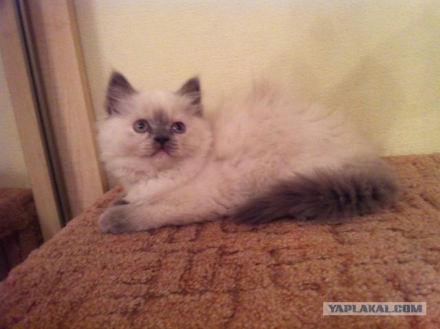 Продаю шотландских котят СПб