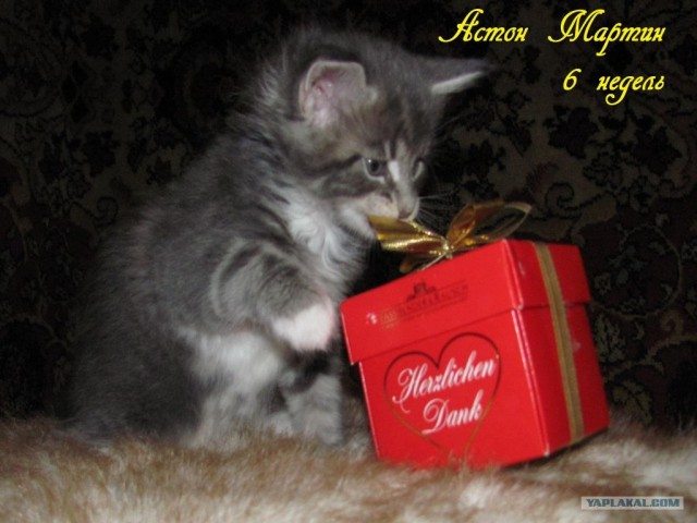 Продажа котят Мейн-Кун