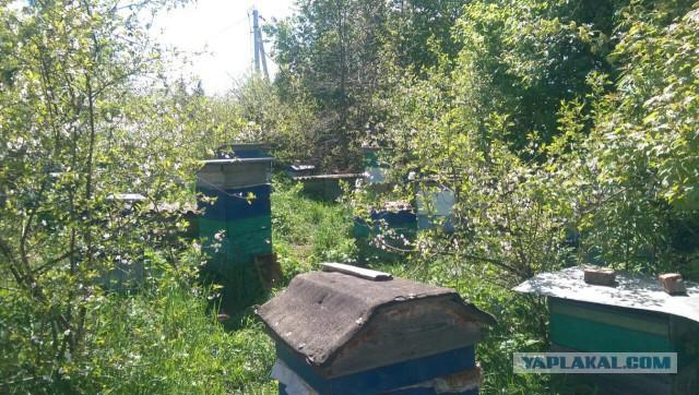 Продадим пчелосемьи (сокращаем пасеку).