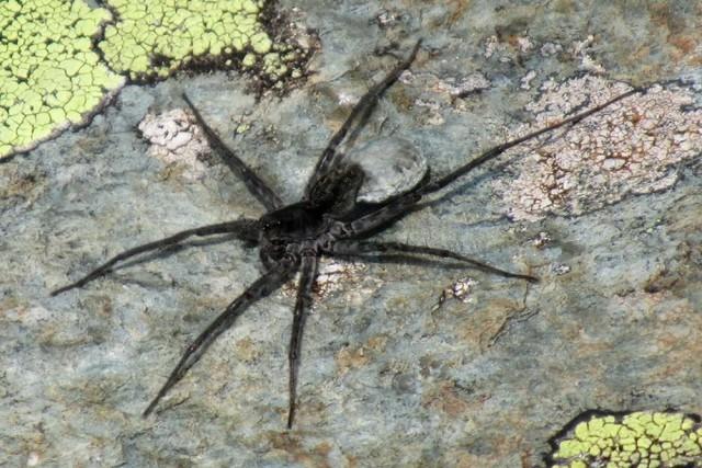 На Алтае обнаружили неизвестного науке паука-волка