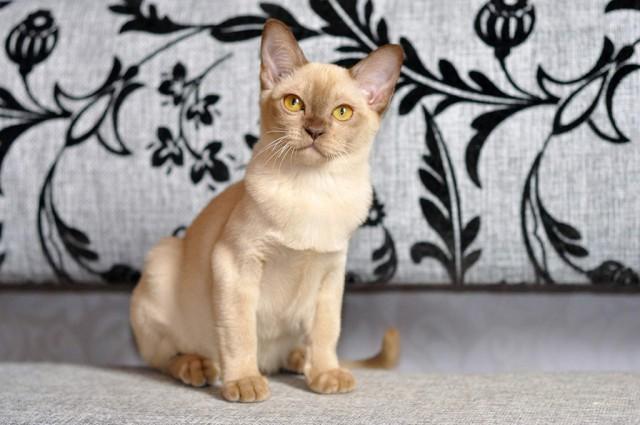 Шоколадная бурманская кошечка