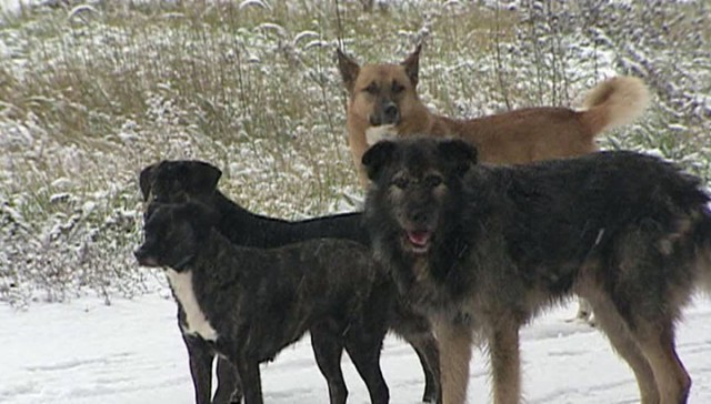 В Красноярске во дворе школы стая собак напала на 9-летнюю девочку
