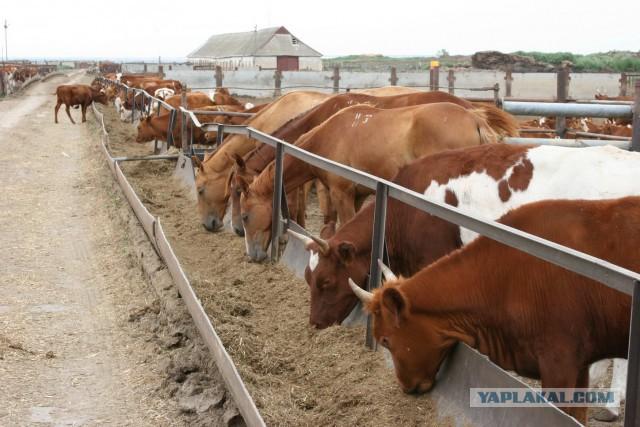откорм бычков за лето