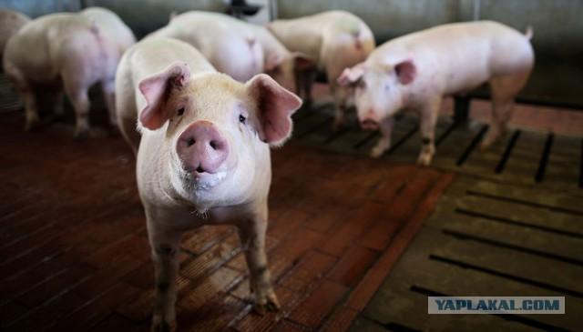 В Совфеде заявили о возможном выходе России из ВТО из-за свинины