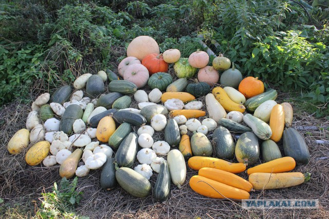 Тещины яблоки или месть должна подаваться с огорода. Финальная битва.