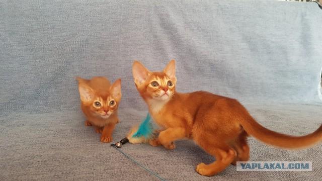 Санкт-Петербург, продаются абиссинские котята