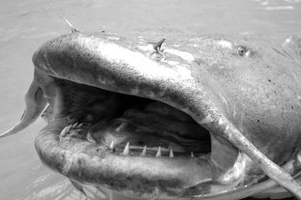 Почему сомы считаются аллигаторами российских рек