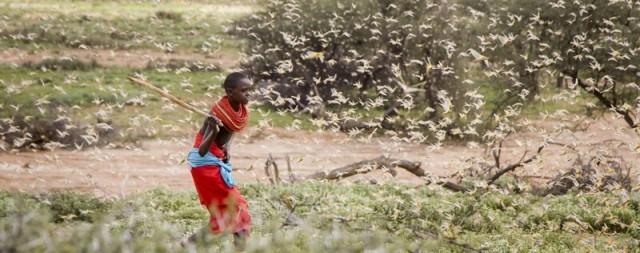 На Африку и Азию обрушились полчища саранчи, несущие голод и нищету «библейских масштабов»
