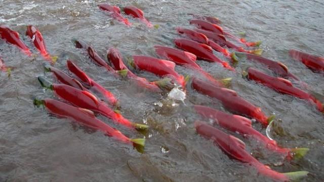 Дочерняя компания британской Trans-Siberian Gold plc (TSG) уничтожила известное нерестилище лососей на камчатской реке