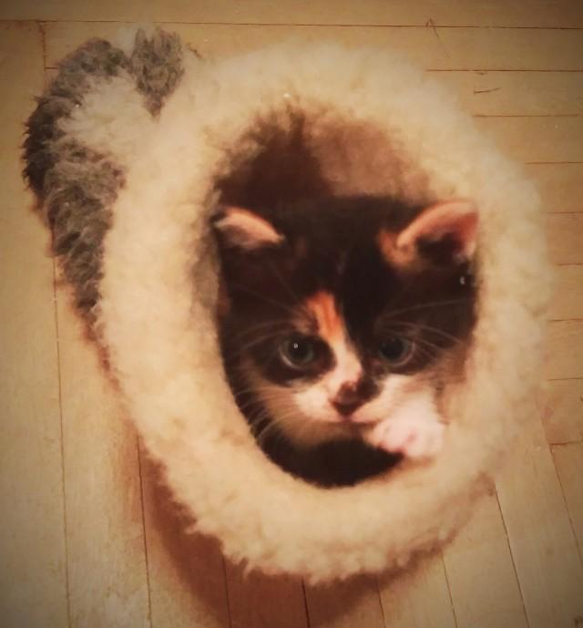 Котёнок трёхцветка  СПб