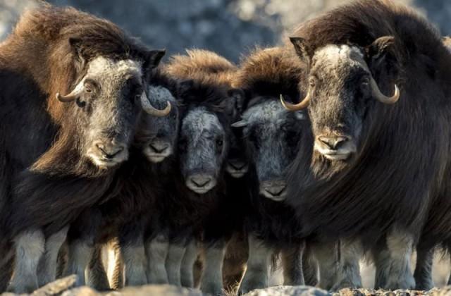 На Чукотке телёнок овцебыка заблудился в полярной ночи. Люди отвели его в тундру, но… вскоре их ждал сюрприз