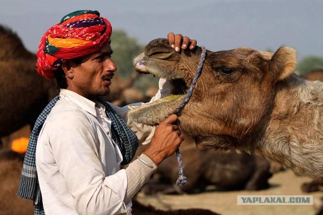 В Индии простоявший весь день на жаре верблюд откусил голову своему хозяину