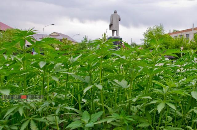 Центральную клумбу в Камне-на-Оби засадили коноплёй