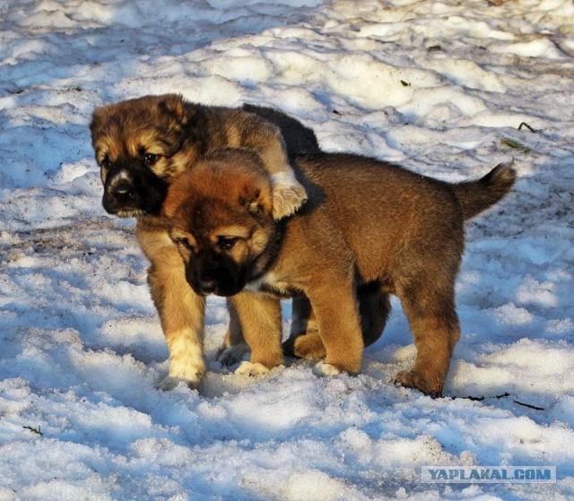 Продаётся щенок среднеазиатской овчарки ( Москва )