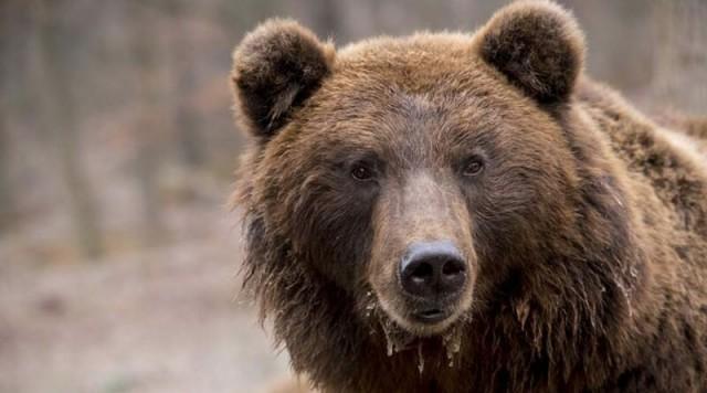В России в медвежьей берлоге был найден живым мужчина