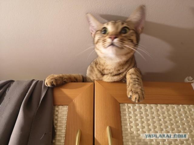 Ищется кот бенгал для сохранения которосы) Москва,МО, можно Клин-Тверь