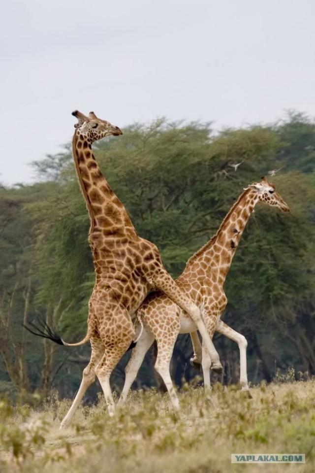 Секс жирафы